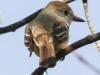 Great crested flycatcher green ridge -3