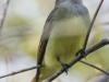 Great crested flycatcher green ridge -4
