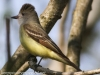 Great crested flycatcher green ridge -7
