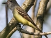 Great crested flycatcher green ridge -8