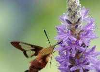 hummingbird-moth-1-of-23