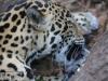 jaguar (3 of 9).jpg