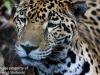 jaguar (4 of 9).jpg