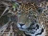 jaguar (5 of 9).jpg