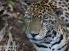 jaguar (6 of 9).jpg