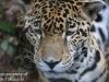 jaguar (7 of 9).jpg