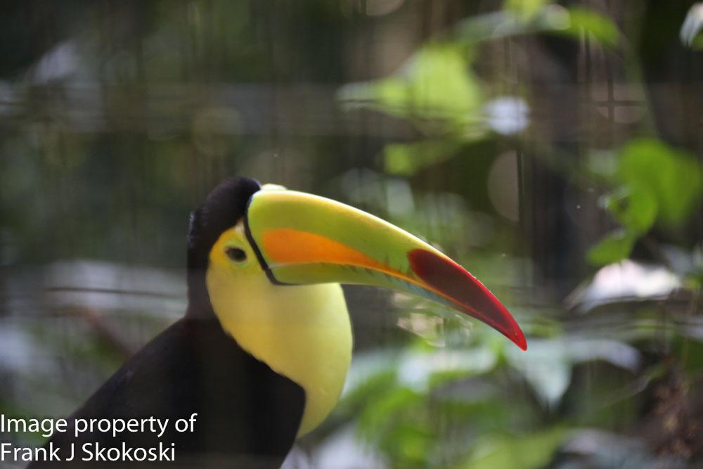 Keel billed toucan (4 of 4).jpg