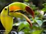 Keel-billed Toucan Belize Zoo