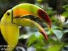 Keel billed toucan 1 (3 of 4).jpg