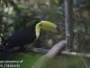 Keel billed toucan (2 of 4).jpg