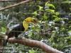 Keel billed toucan (3 of 4).jpg