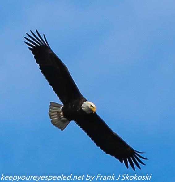 bald eagle (5 of 12)