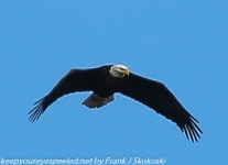 bald eagle (1 of 12)