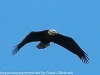 bald eagle (1 of 12)