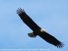 bald eagle (2 of 12)