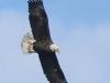 bald eagle (3 of 12)