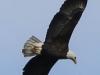 bald eagle (4 of 12)