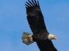 bald eagle (6 of 12)
