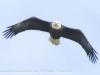 bald eagle (8 of 12)