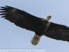 bald eagle (9 of 12)