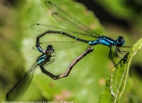 macro damselfly 405  (1 of 1).jpg