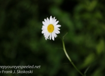daisies -1