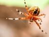 Marbled orbweaver spider125- (1 of 1)