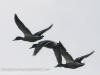 ducks (1 of 1).jpg