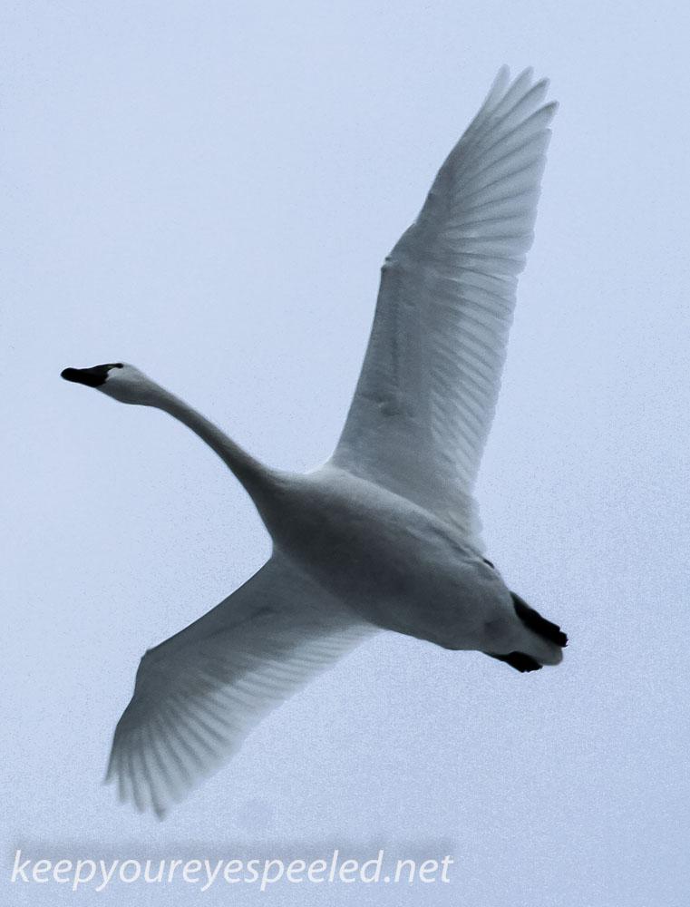 Middle Creek ducks- (17 of 32).jpg