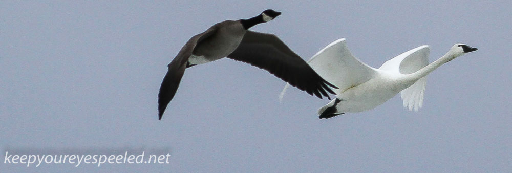 Middle Creek goose and swan (23 of 32).jpg