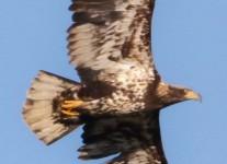 Middle-Creek-bald-eagle-1-of-10