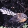 New-Zealand-Day-Seven-fantail-3-of-7