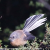 New-Zealand-Day-Seven-fantail-4-of-7