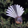 New-Zealand-Day-Seven-fantail-5-of-7
