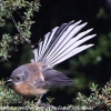 New-Zealand-Day-Seven-fantail-6-of-7
