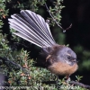 New-Zealand-Day-Seven-fantail-7-of-7