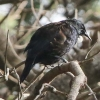 New-Zealand-Day-Eight-Stewart-Island-evening-walk-birds-1-of-16