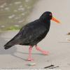 New-Zealand-Day-Eight-Stewart-Island-evening-walk-birds-12-of-16