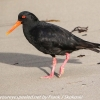 New-Zealand-Day-Eight-Stewart-Island-evening-walk-birds-13-of-16