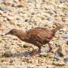 New-Zealand-Day-Eight-Stewart-Island-Ulva-Islan-birds-d-17-of-28
