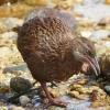 New-Zealand-Day-Eight-Stewart-Island-Ulva-Islan-birds-d-19-of-28