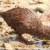 New-Zealand-Day-Eight-Stewart-Island-Ulva-Islan-birds-d-20-of-28