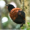 New-Zealand-Day-Eight-Stewart-Island-Ulva-Islan-birds-d-4-of-28