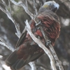 New-Zealand-Day-Eleven-Stewarts-Island-morning-walk-birds-11-of-17