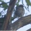 New-Zealand-Day-Eleven-Stewarts-Island-morning-walk-birds-14-of-17