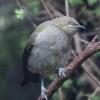 New-Zealand-Day-Eleven-Stewarts-Island-morning-walk-birds-3-of-17