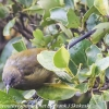 New-Zealand-Day-Eleven-Stewarts-Island-morning-walk-birds-7-of-17