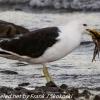 New-Zealand-Day-Five-lake-tepako-birds-6-of-23