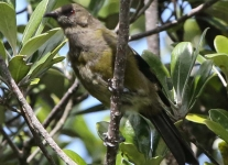 New-zealand-Day-Nineteen-Auckland-Tiritiri-Matangi-birds-1-of-9