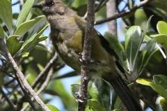 New Zealand Day Nineteen Auckland Tiritiri Matangi Islands birds February 24 2019